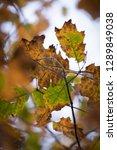 beech tree leaves close up | Shutterstock . vector #1289849038