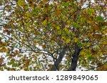 beech tree leaves close up | Shutterstock . vector #1289849065