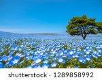 mountain  tree and nemophila ... | Shutterstock . vector #1289858992