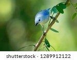 blue grey tanager   tangara... | Shutterstock . vector #1289912122