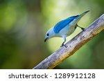 blue grey tanager   tangara... | Shutterstock . vector #1289912128