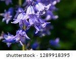 Springtime Bluebells In Englis...