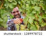 winemaker harvesting green... | Shutterstock . vector #1289978722