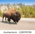American Bison Walking on a Road in Yellowstone - stock photo