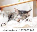 cat lying on the sofa   Shutterstock . vector #1290059965
