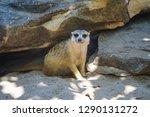 meerkat  suricate  suricata...   Shutterstock . vector #1290131272