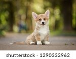 Stock photo smiling happy pembroke whelsh corgi dog puppy outdoor 1290332962