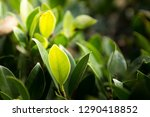 close up green leaf with light... | Shutterstock . vector #1290418852
