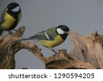 great tit  parus major  songbird | Shutterstock . vector #1290594205