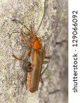 Small photo of Soldier beetle, Cantharidae on wood, macro photo