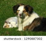 Stock photo australian shephard playing with cat 1290887302
