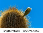 flowering gigantic cactus on... | Shutterstock . vector #1290964852