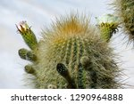 flowering gigantic cactus on... | Shutterstock . vector #1290964888