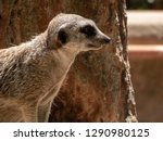 meerkat  suricata suricatta .   Shutterstock . vector #1290980125