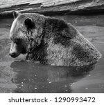 the grizzly bear also known as... | Shutterstock . vector #1290993472