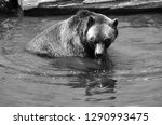 the grizzly bear also known as... | Shutterstock . vector #1290993475