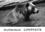 the grizzly bear also known as... | Shutterstock . vector #1290993478