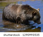 the grizzly bear also known as... | Shutterstock . vector #1290993535