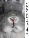 Stock photo grey silver dwarf nether land rabbits heart nose 1291005352