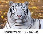 White Tiger On Autumn...