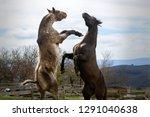 two stallions fighting   Shutterstock . vector #1291040638