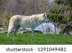 the arctic wolf  also known as... | Shutterstock . vector #1291049482