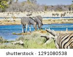 two beautiful zebras at a lush  ... | Shutterstock . vector #1291080538