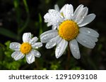 a daisy flower closeup after a... | Shutterstock . vector #1291093108