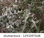 hedge with frozen hoarfrost in...   Shutterstock . vector #1291097638