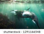 Free Diving With Orca In New...