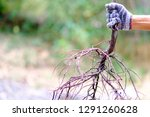 Human Hand Is Holding Root Of...
