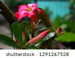 red frangipani flowers are... | Shutterstock . vector #1291267528