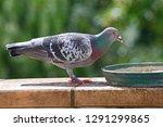 homing pigeon  racing pigeon or ... | Shutterstock . vector #1291299865