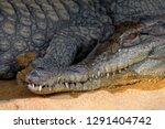 african slender snouted... | Shutterstock . vector #1291404742