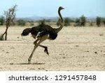 Ostrich Running In Desert