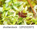 red brown dragonfly perch on... | Shutterstock . vector #1291522072