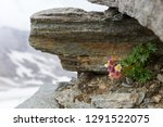 glacier buttercup  alpine... | Shutterstock . vector #1291522075