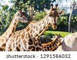 a group of giraffes  giraffa... | Shutterstock . vector #1291586032