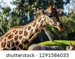 a giraffe  giraffa... | Shutterstock . vector #1291586035