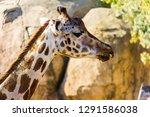 a giraffe  giraffa... | Shutterstock . vector #1291586038