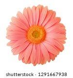 gerbera flower of coral color... | Shutterstock . vector #1291667938