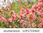 Japanese Quince Flowers