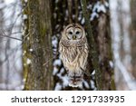 Barred owl perched alert looking for voles in mid winter in a boreal forest Quebec, Canada.