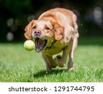 Stock photo labrador running to catch a ball a sandy labrador retriever dog in a field meadow park or forest 1291744795