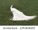 White Peacock On Green Grass