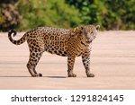 Jaguar  Panthera Onca  Female ...