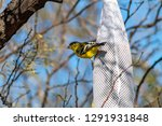spinus tristis  american... | Shutterstock . vector #1291931848