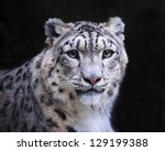Isolated Snow Leopard On Black...
