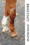 equine sutured leg  stitches | Shutterstock . vector #1292120488