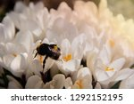 Bumblebee Flies Over A Group Of ...